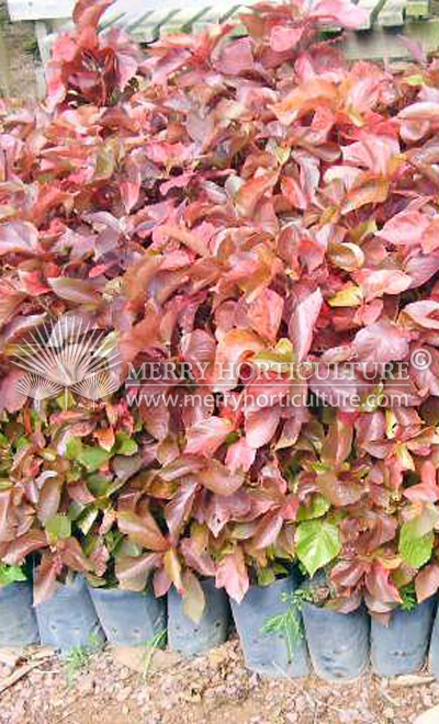 Acalypha wikesiana red