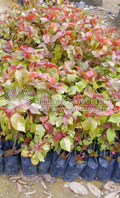 Acalypha wilkesiana red
