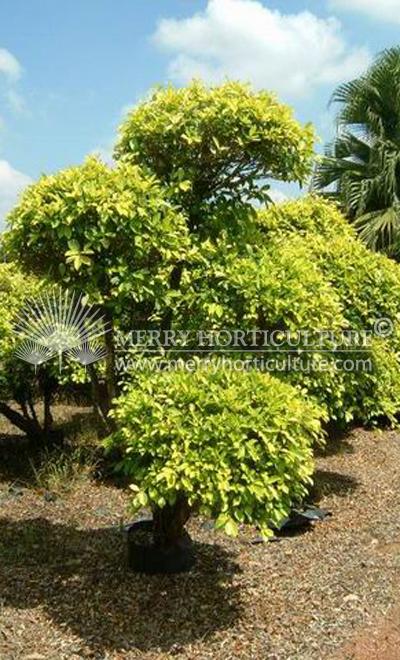 Ficus Gold Bonsai Merry Horticultural International
